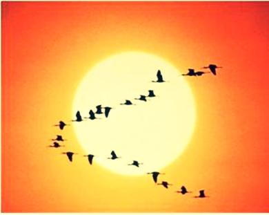 """""""V"""" Burung Angsa"""