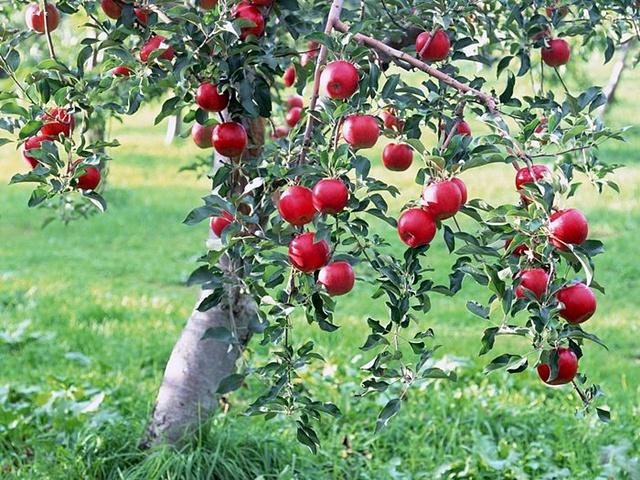 pohon buah terbaik