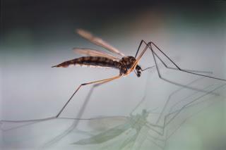 Langpootmug mosquito (Tipulidae vernalis)