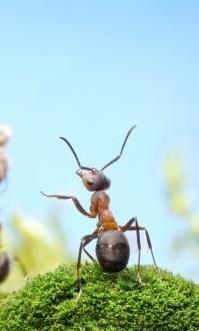 rumput+semut